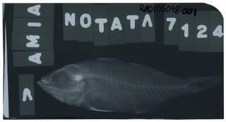 To NMNH Extant Collection (Ostorhinchus notatus RAD105098-001)