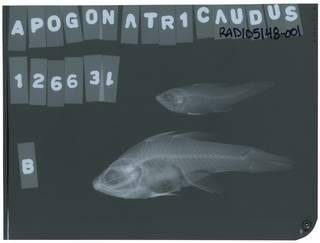 To NMNH Extant Collection (Apogon atricaudus RAD105148-001)
