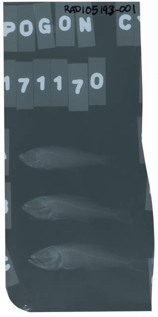 To NMNH Extant Collection (Rhabdamia cypselura RAD105193-001)