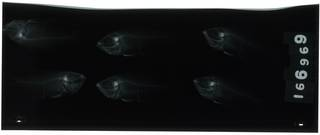 To NMNH Extant Collection (Archamia lineolata RAD105274-001)