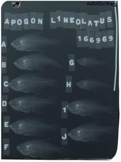 To NMNH Extant Collection (Archamia lineolata RAD105274-002)