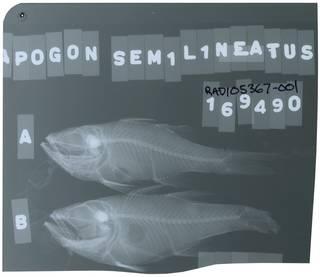 To NMNH Extant Collection (Ostorhinchus semilineatus RAD105367-001)