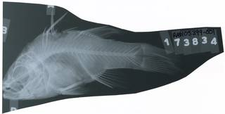To NMNH Extant Collection (Pristicon trimaculatus RAD105399-001)
