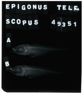 To NMNH Extant Collection (Epigonus denticulatus RAD105538-001)