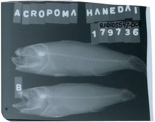 To NMNH Extant Collection (Acropoma hanedai RAD105547-001)