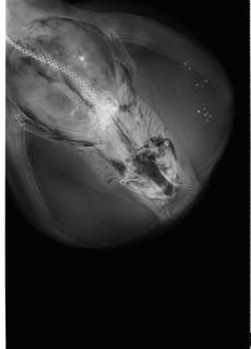 To NMNH Extant Collection (Torpedo nobiliana USNM 205358 radiograph dorsal view anterior)