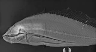 To NMNH Extant Collection (Desmodema lorum USNM 216726 Holotype radiograph head)