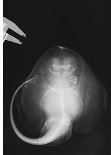 To NMNH Extant Collection (Rajella fuliginea USNM 222289 radiograph)