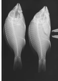 To NMNH Extant Collection (Lethrinus miniatus USNM 304296 radiograph lateral view)