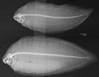To NMNH Extant Collection (Phyllichthys USNM 327936 radiograph)