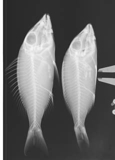 To NMNH Extant Collection (Lethrinus reticulatus USNM 340559 radiograph lateral view)