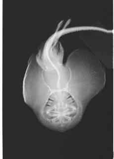 To NMNH Extant Collection (Fenestraja cubensis USNM 380018 radiograph dorsal view)