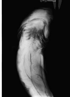 To NMNH Extant Collection (Echinorhinus cookei USNM 423578 radiograph)