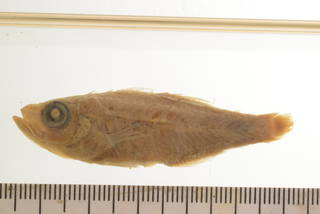 To NMNH Extant Collection (Apogonichthys mentalis USNM 55905 Type photograph)