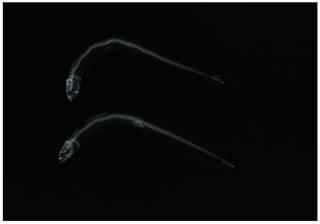 To NMNH Extant Collection (Stathmonotus hemphillii RAD111201-001)