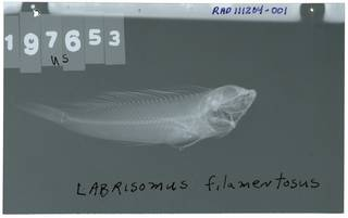 To NMNH Extant Collection (Labrisomus filamentosus RAD111204-001)
