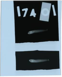 To NMNH Extant Collection (Malacoctenus zonogaster RAD111208-001)