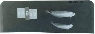 To NMNH Extant Collection (Heteroclinus whiteleggii RAD111216-001)