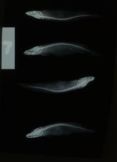 To NMNH Extant Collection (Typhlogobius californiensis RAD108491-001)