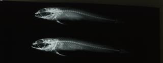 To NMNH Extant Collection (Ilypnus gilberti RAD108508-001)