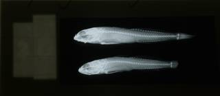 To NMNH Extant Collection (Lepidogobius gilberti RAD108509-001)