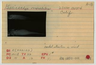 To NMNH Extant Collection (Gillichthys mirabilis RAD108510-001B)