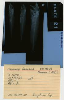 To NMNH Extant Collection (Awaous tajasica RAD108549-001B)