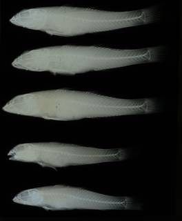To NMNH Extant Collection (Awaous lateristriga RAD108554-001)