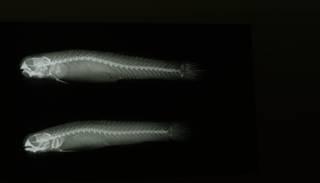 To NMNH Extant Collection (Kelloggella cardinalis RAD108559-001)