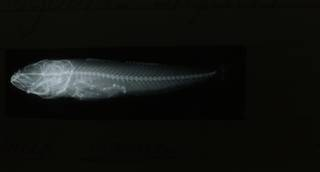 To NMNH Extant Collection (Acanthogobius flavimanus RAD108567-001)