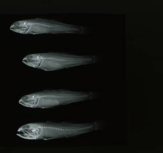 To NMNH Extant Collection (Stigmatogobius versicolor RAD108575-001)