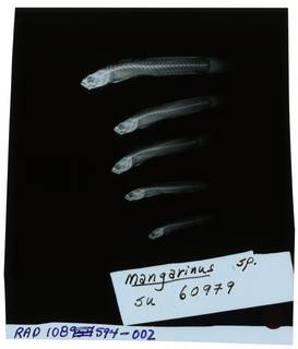 To NMNH Extant Collection (Mangarinus  RAD108594-002)