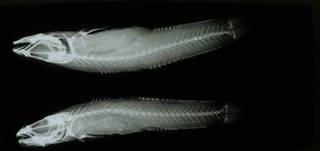 To NMNH Extant Collection (Rhinogobius sowerbyi RAD108600-001)