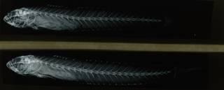 To NMNH Extant Collection (Gobionellus gracillimus RAD108619-001)