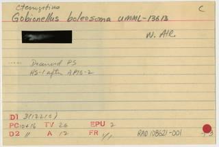 To NMNH Extant Collection (Ctenogobius boleosoma RAD108621-001B)