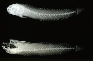 To NMNH Extant Collection (Oxyurichthys microlepis RAD108623-001)