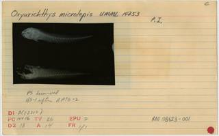 To NMNH Extant Collection (Oxyurichthys microlepis RAD108623-001B)