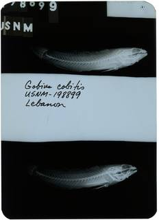 To NMNH Extant Collection (Gobius cobitis RAD108627-003)