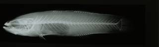 To NMNH Extant Collection (Eleotris  RAD108628-001)