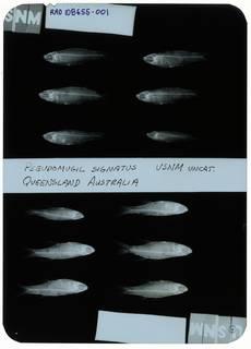 To NMNH Extant Collection (Pseudomugil signifer RAD108655-001)