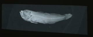 To NMNH Extant Collection (Gobius dalli RAD108665-001)