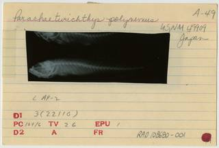 To NMNH Extant Collection (Parachaeturichthys polynema RAD108680-001B)