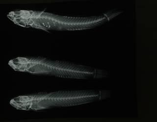 To NMNH Extant Collection (Eviota abax RAD108684-001)