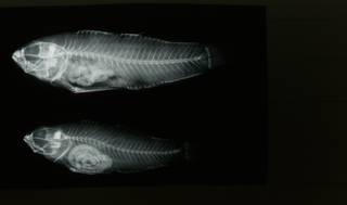To NMNH Extant Collection (Asterropteryx semipunctata RAD108694-001)