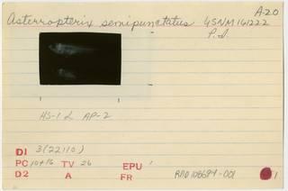 To NMNH Extant Collection (Asterropteryx semipunctata RAD108694-001B)