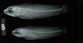 To NMNH Extant Collection (Amblygobius albimaculatus RAD108708-001)