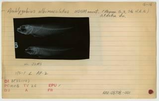 To NMNH Extant Collection (Amblygobius albimaculatus RAD108708-001B)