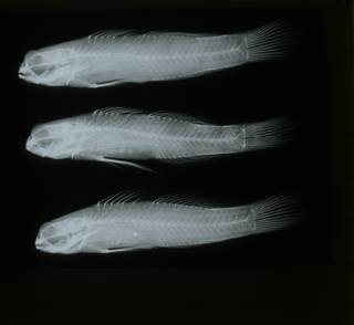 To NMNH Extant Collection (Gladiogobius ensifer RAD108714-001)