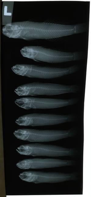 To NMNH Extant Collection (Cristatogobius RAD108720-001)