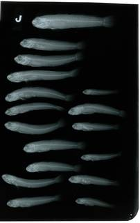 To NMNH Extant Collection (Cryptocentroides dentatus RAD108721-001)